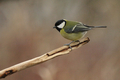 Great Tit (Parus major) - PhotoDune Item for Sale