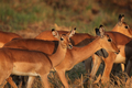 Impalas (Aepyceros melampus) - PhotoDune Item for Sale