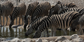 Plains Zebra (Equus quagga) - PhotoDune Item for Sale