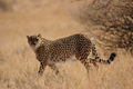 Cheetah (Acinonyx jubatus) - PhotoDune Item for Sale