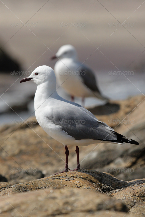 Hartlaub's gull (Larus hartlaubii) - Stock Photo - Images