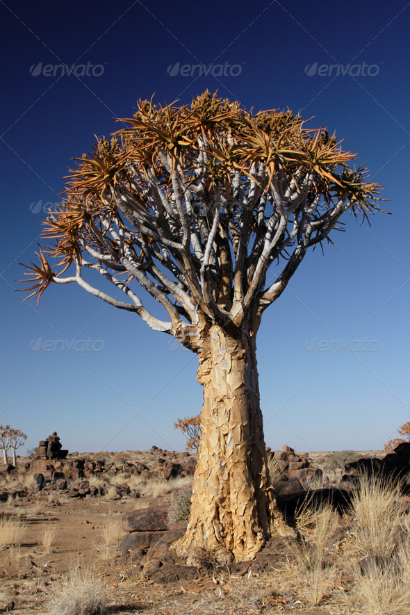 Quiver Tree - Stock Photo - Images