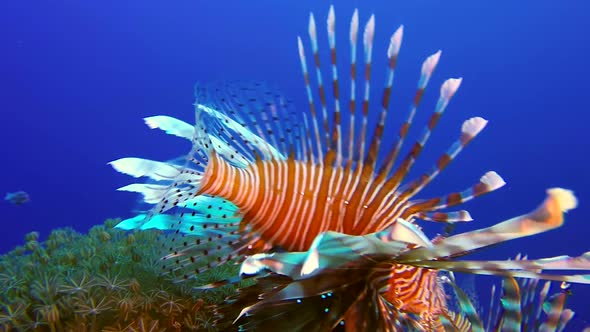 Colorful Tropical Coral Reefs Lionfish and Soft Coral