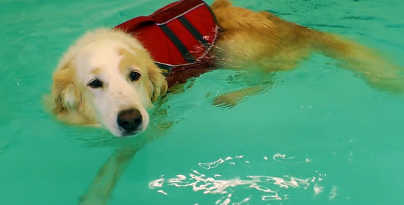 Dog is Swimming in the Swimming Pool