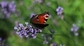 Admiral Butterfly on Lavender - PhotoDune Item for Sale