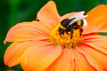 Bumble bee pollinating a flower - PhotoDune Item for Sale