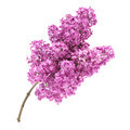 Pink lilac branch - PhotoDune Item for Sale
