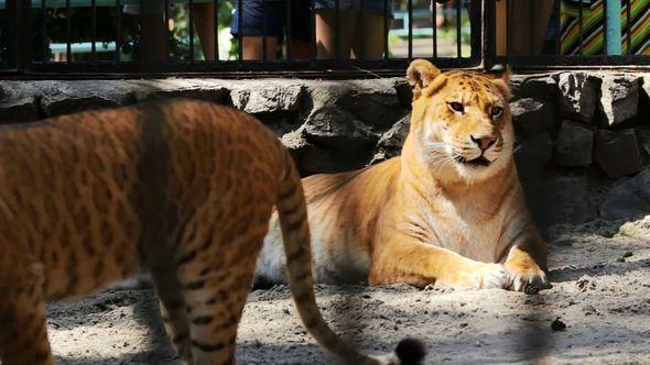 Liger Resting In Zoo Liger Cub Walks Around