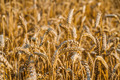 Wheat field ready for harvest - PhotoDune Item for Sale