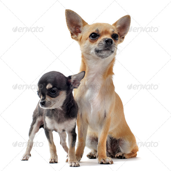 puppy chihuahua and female - Stock Photo - Images