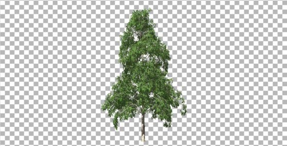 Birch V 5