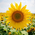Sunflower field and blue sky - PhotoDune Item for Sale