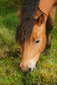 Icelandic Horse - PhotoDune Item for Sale