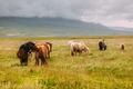 Icelandic Horses - PhotoDune Item for Sale