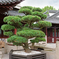 bonsai pine tree and park - PhotoDune Item for Sale