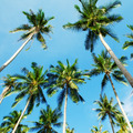 Coconut Palms - PhotoDune Item for Sale