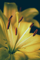 Yellow lily - close up - PhotoDune Item for Sale