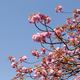 Cherry blossoms flower , Sakura - PhotoDune Item for Sale