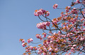 Cherry blossoms flower , Sakura - PhotoDune Item for Sale