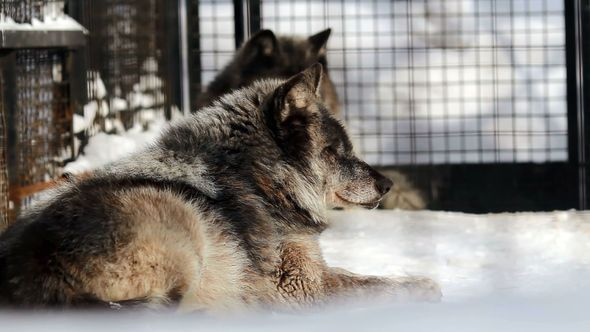 Black Canadian Wolves At The Zoo