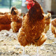 Chickens on traditional free range poultry farm - PhotoDune Item for Sale
