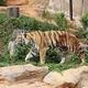 bengal tiger - PhotoDune Item for Sale