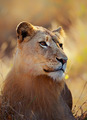 Lioness portrait lying in grass - PhotoDune Item for Sale