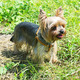 yorkshire terrier - PhotoDune Item for Sale