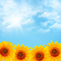 Blue Sky and Sunflowers - PhotoDune Item for Sale