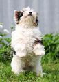 puppy - PhotoDune Item for Sale