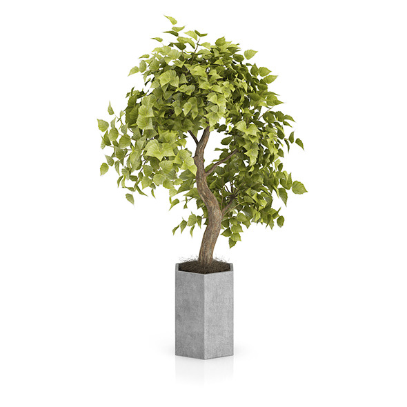 3DOcean Bonsai Tree in Grey Pot 8514885