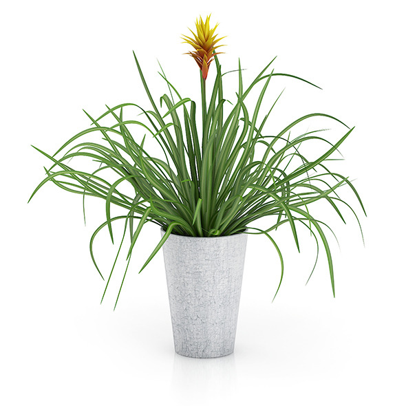 Guzmania Plant - 3DOcean Item for Sale