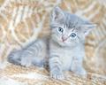 Blue-eyed kitten - PhotoDune Item for Sale