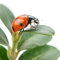 ladybird on green leaf isolated on a white background - PhotoDune Item for Sale