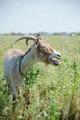 Dark goat - PhotoDune Item for Sale
