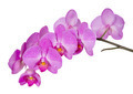 Orchid on White - PhotoDune Item for Sale