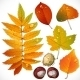 Yellow and Red Autumn Leaves and Chestnut - GraphicRiver Item for Sale