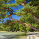 Beautiful landscape of lake Svityaz  with pine tree, Belarus - PhotoDune Item for Sale
