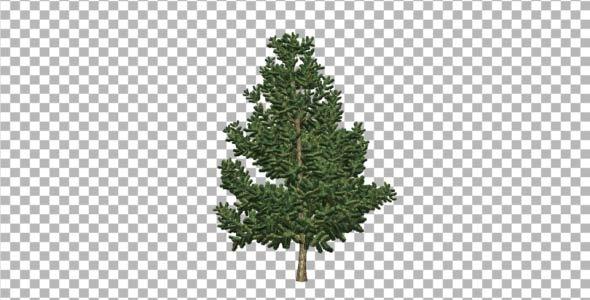 Pine V6