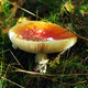 amanita muscaria mushroom - PhotoDune Item for Sale