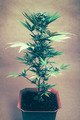 Cannabis plant - PhotoDune Item for Sale
