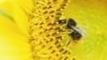 Honey bee on flower - PhotoDune Item for Sale