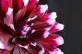 Dahlia flower - PhotoDune Item for Sale