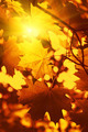 Branch of autumn maple foliage with sunlight - PhotoDune Item for Sale