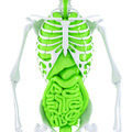 Human skeleton with internal organs. Isolated. Contains clipping path - PhotoDune Item for Sale