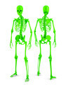 3d Human skeleton. Posterior and anterior view. Isolated. Contains clipping path. - PhotoDune Item for Sale