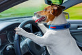 dog car  steering wheel - PhotoDune Item for Sale