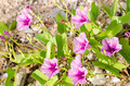 Morning glory or Convolvulaceae flowers - PhotoDune Item for Sale