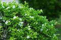 Andaman satinwood flower. - PhotoDune Item for Sale