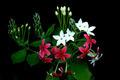 Rangoon creeper flower in garden. - PhotoDune Item for Sale